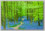 path_through_forest_wtih_bluebells