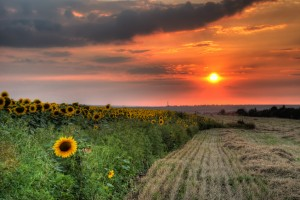 Field with hay and sunflower
